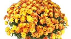Хризантема в горшке: уход в домашних условиях летом, зимой и в период вегетации