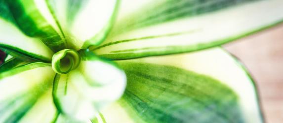 Цветок «тещин язык»: уход в домашних условиях