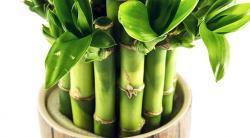 Правильный уход за комнатным растением: бамбук