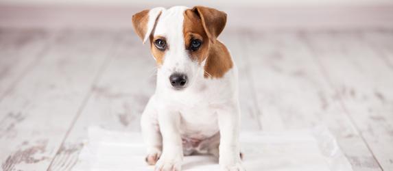 Как приучить щенка ходить на пеленку в условиях квартиры