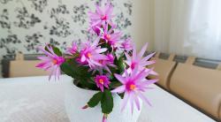 Цветок декабрист: правильный уход в домашних условиях