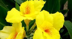 Комнатные цветы канны: уход, полив и сорта