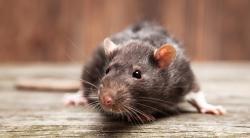 Как эффективно избавиться от крыс