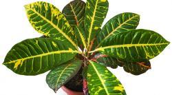 Растение кротон: уход в домашних условиях