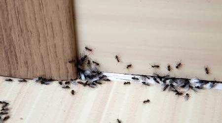 Как и чем вывести муравьев из дома