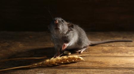 Какой лучше выбрать отпугиватель крыс и мышей