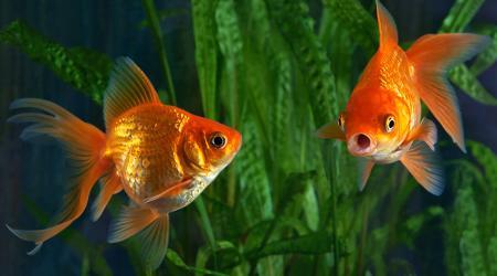 Содержание золотых рыбок и уход за ними