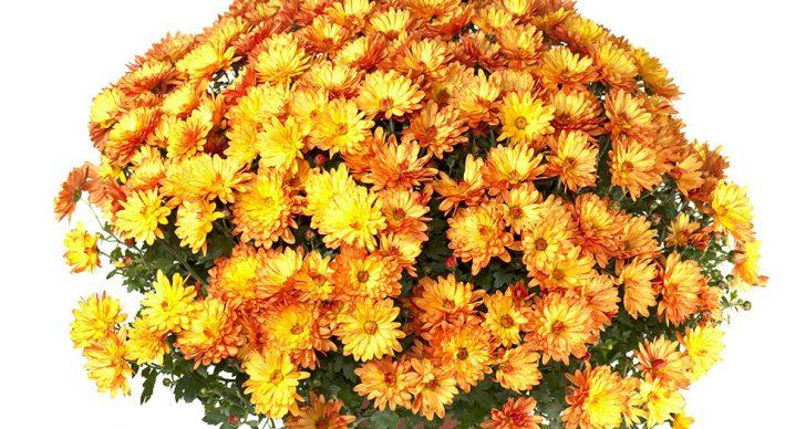 Домашняя хризантема уход в домашних условиях пошагово