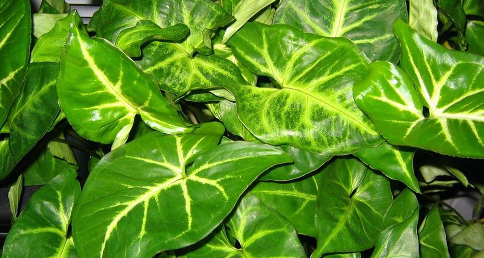 сингониум зеленолистный