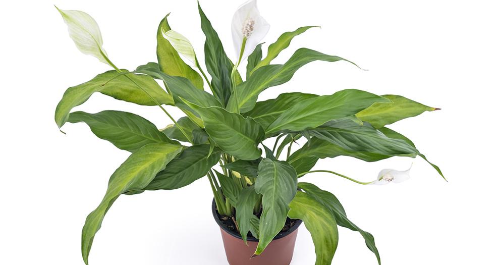 Цветок растение женское счастье